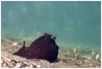 Aplysiidae 1