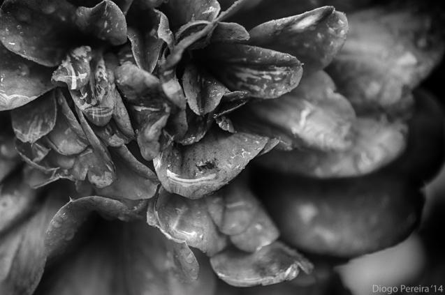grey camellia