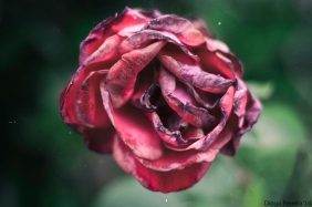 Colour Rose