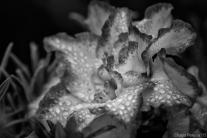 Azalea in a rainy day